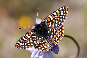 Photo for Activists File Petition To Protect Endangered Butterfly In San Diego County
