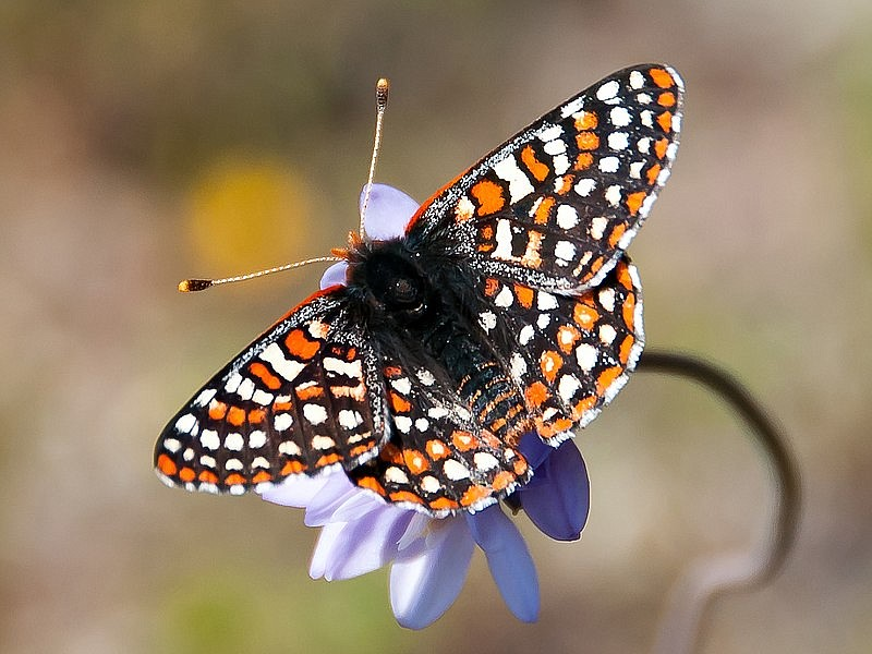 A Quino checkerspot butterfly on a wild hyacinth in this file photo taken Mar...