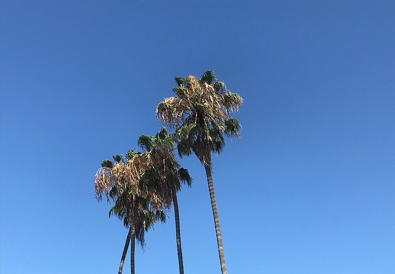 Palm trees against sunny skies in San Diego County. August 2, 2020.
