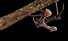 The Pelican Spider (E. workmani) is a living fo...