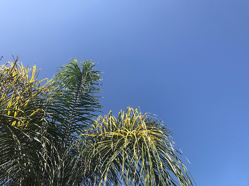 A palm tree against warm, clear skies in San Diego County. Sept. 19, 2020.