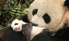 Giant Panda mother and her one-month-old cub. W...