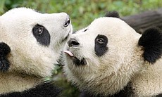 Three-year-old Giant Panda and his mother in Wo...