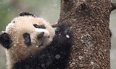 Six-month-old panda cub up in a tree, waiting f...