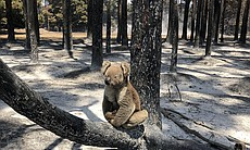 A koala sits on the lower branch of a burnt-out...