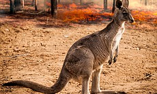 Australia's kangaroos saved from the fire in th...