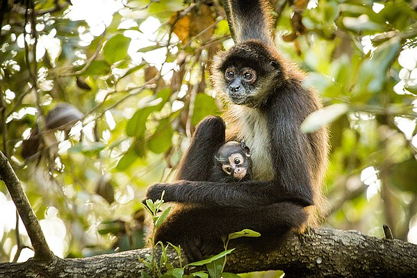 Spider monkeys (Ateles geoffroyi) spend their lives high ...