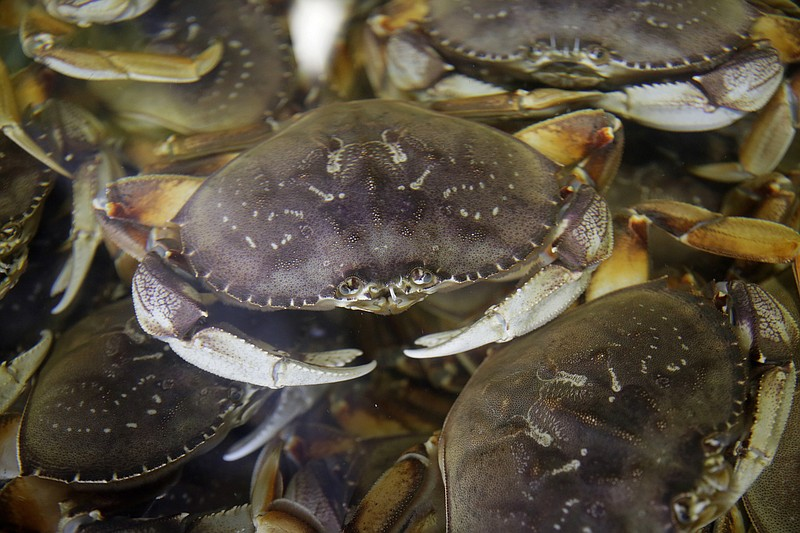 In this Nov. 16, 2018, file photo, fresh Dungeness crabs fill a tank at the A...