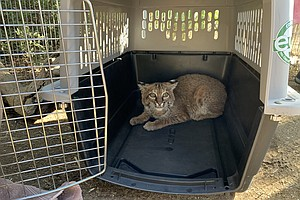 Photo for Bobcat Badly Burned In El Dorado Fire Released Back Into the Wild