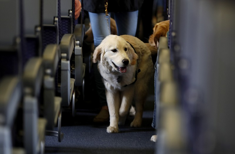 In this April 1, 2017 file photo, a service dog strolls through the isle insi...