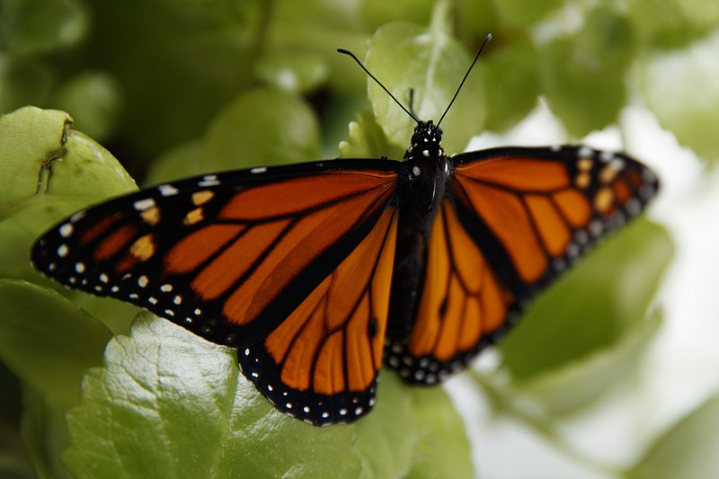 In this June 2, 2019, file photo, a fresh monarch butterfly rests on a Swedis...