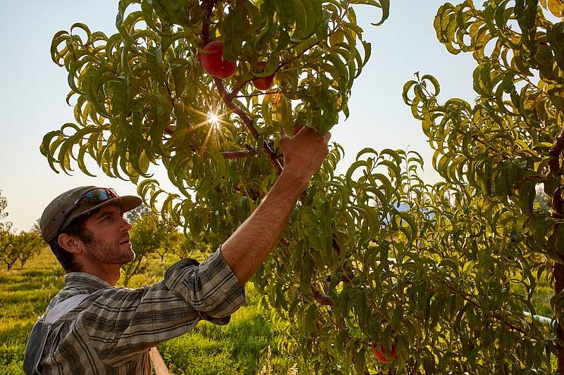 Fruit grower AJ Carrillo picks a peach in the orchard of Deer Tree farm near ...