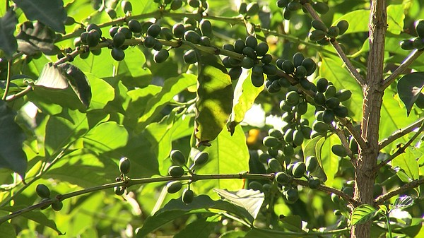 Coffee fruits are growing for next season's harvest at Mr...