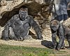 Members of the Gorilla Troop at the San Diego Z...