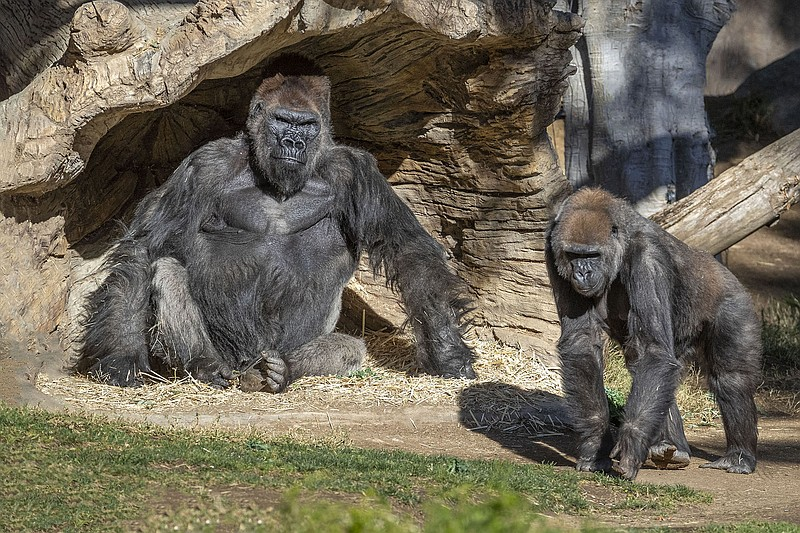 Members of the Gorilla Troop at the San Diego Zoo Safari Park are pictured, J...