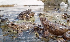 Brown frogs in the Alpine lakes, mating in the ...