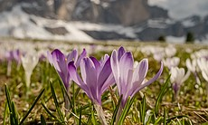 In the spring, Alpine flowers turn the meadows ...