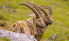 Ibex shedding their winter wool.