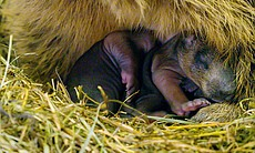 Newborn marmots in a winter den.