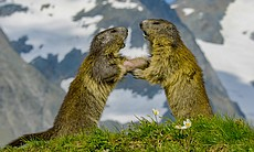 Marmots in the Alps.