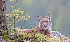 The lynx is an elusive hunter and a rare sight ...