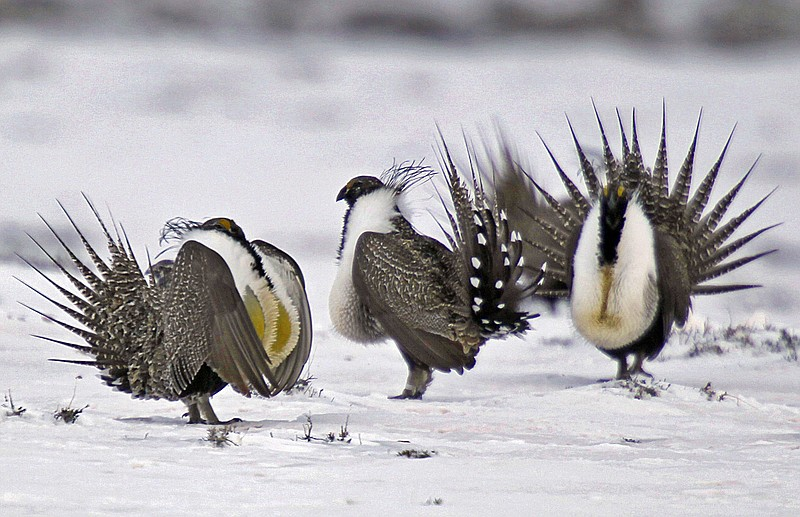 In this April 20, 2013 file photo, male greater sage grouse perform mating ri...