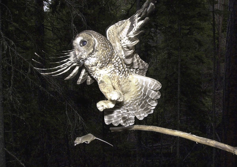 A Northern Spotted Owl flies after an elusive mouse jumping off the end of a ...