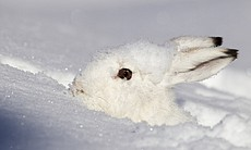 Mountain hare in its winter coat.