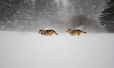 Wolves in the Alps went extinct in the late 19t...