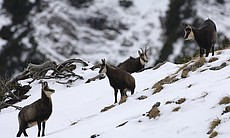 Chamois, a species of goat-antelope native to t...