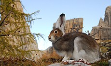 Mountain hare in the middle of changing from it...