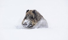 Wild boar covered in deep snow.