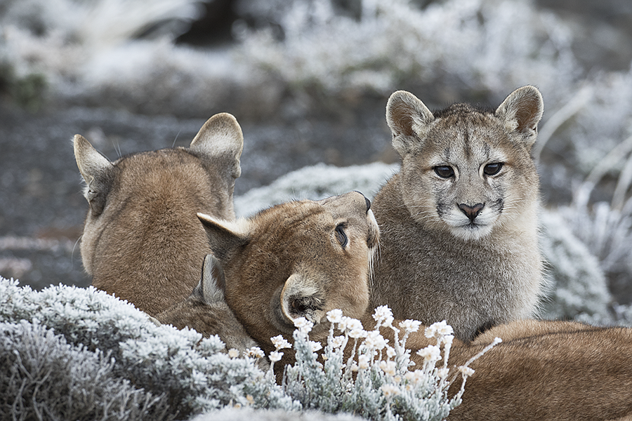 NATURE: Pumas: Legends Of The Ice Mountains | KPBS