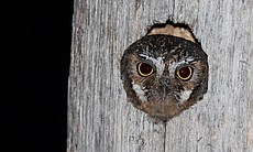 Elf owl looking out of its nest. Big Bend, Texas.