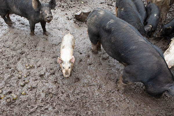 Pigs eat fruit tossed to them by Alpine ranch owner Natha...