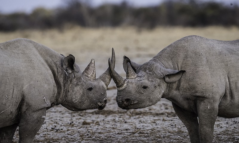 Two rhinos greet each other in this undated photo.