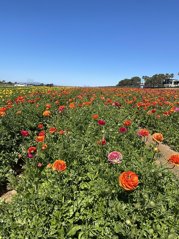 Flowers at the Carlsbad Flower Fields. March 1, 2021.