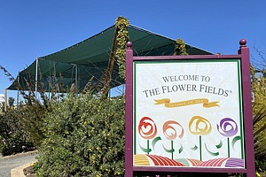 Carlsbad Flower Fields Open With COVID-19 Restrictions