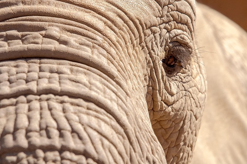 Swazi, one of the African elephants at the San Diego Zoo Safari Park, eyes a ...