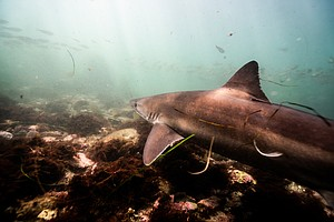 Photo for Soupfin Sharks Return To La Jolla Every 3 Years In Animal Kingdom First