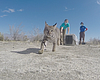 An orphaned bobcat is released back into the wi...