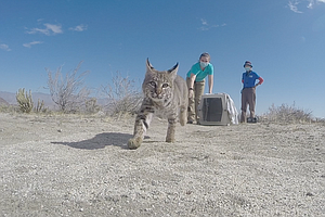 Photo for Bobcat Kitten Released Into Wild Near Borrego Springs After 3 Months Of Care