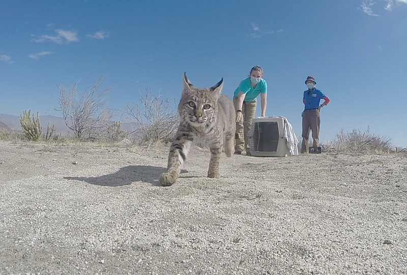 An orphaned bobcat is released back into the wild in Borrego Springs after re...