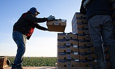 Farmworkers stack boxes of cabbage at Vessey Fa...