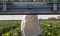 A farmworker harvests cabbage on Vessey Farms i...