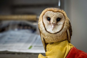 Photo for Rehabilitated Barn Owl Is Back In Wild