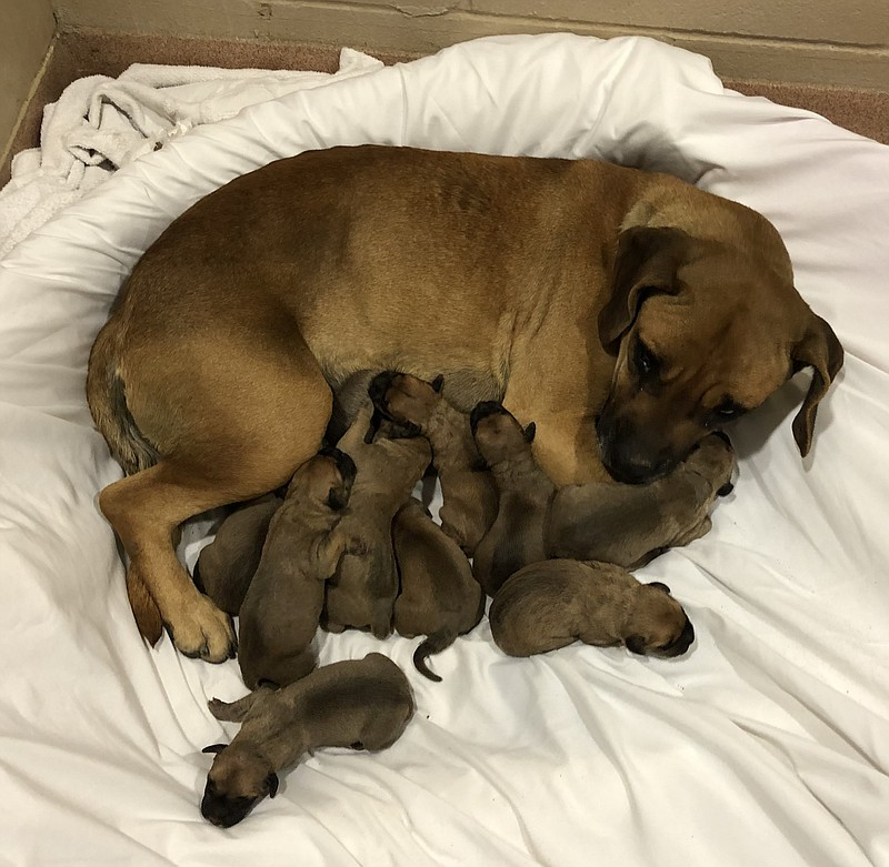 A mother dog and her newborn puppies rest at the San Diego Humane Society. Ma...