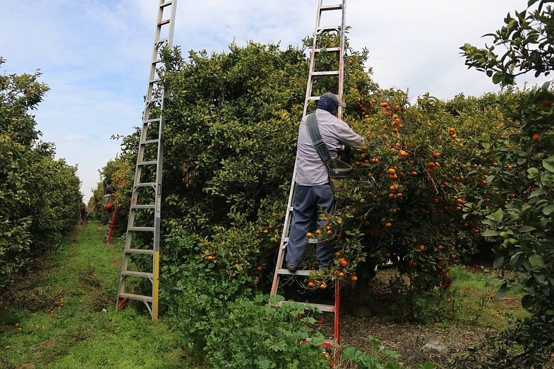 Yoni Carrillo harvests mandarins in an orchard west of Fresno. He and thousan...