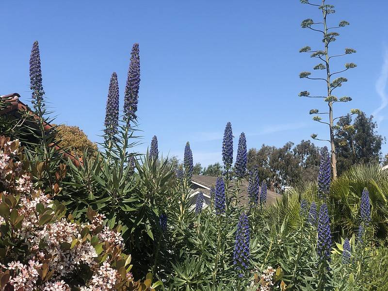 Flowers bloom in the front yard of the house during spring in Encinitas, Apri...