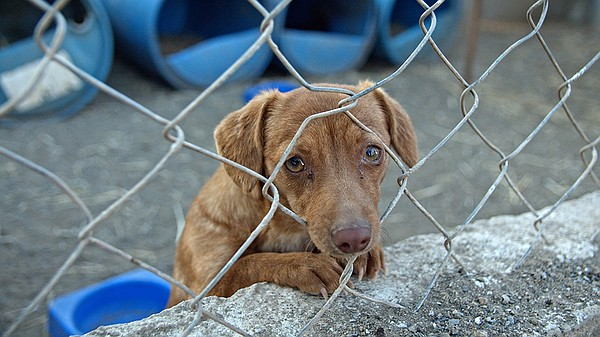 A cute dog begs to be adopted at the Los Adoptables shelt...